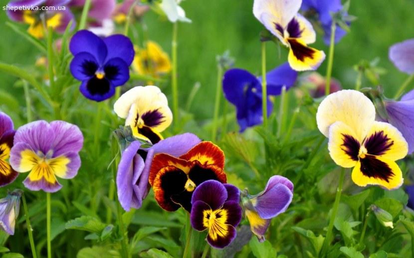 Квіти Анютини вічка