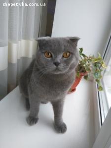 Молодий британський висловухий котик шукає кішку на в'язку