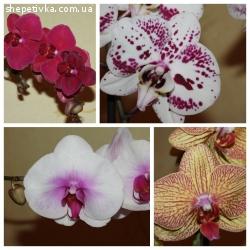 Орхідеї від 200 грн. Новий завоз!