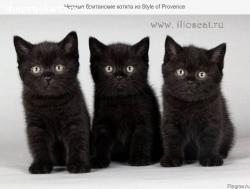 Продаються кошенята (британська порода)