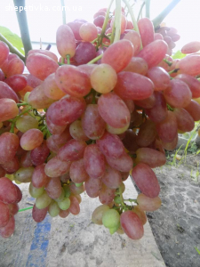 Продам черенки винограду
