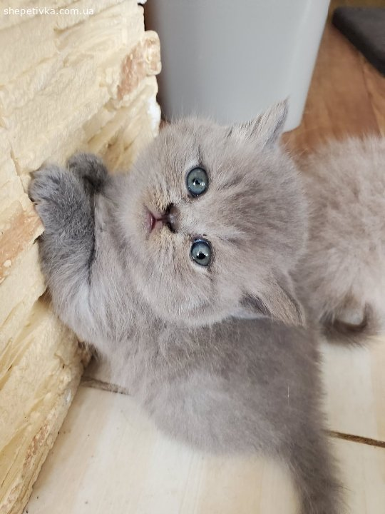 Продам кошенят(британські)
