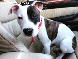 Пропала собака породи Американський стафф