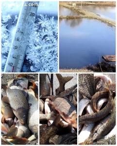 Риба товарна жива: товстолоб, корп.