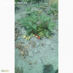 Саджанці клубніки