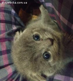 Шотландские котята,