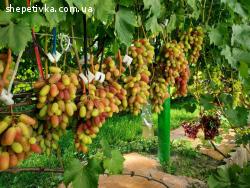 Виноград Шепетівка